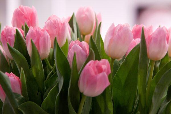 Tulipan różowy świeży pęczek 25szt