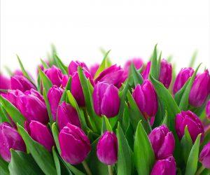 Tulipan fuksja świeży pęczek 25szt