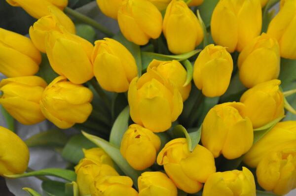 Tulipan żółty świeży pęczek 25szt
